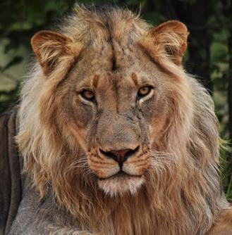 ボツワナに生息する百獣の王ライオン