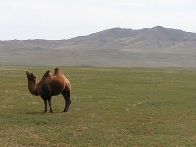 モンゴル、ボランティア活動地にて自然のラクダ