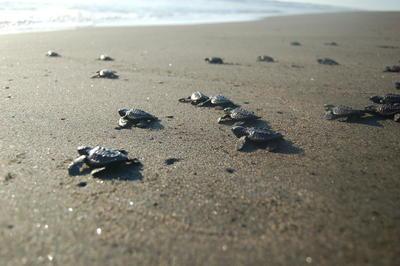 ウミガメ保護に貢献する環境保護ボランティア 孵化したウミガメが安全にメキシコの海に向かう様子