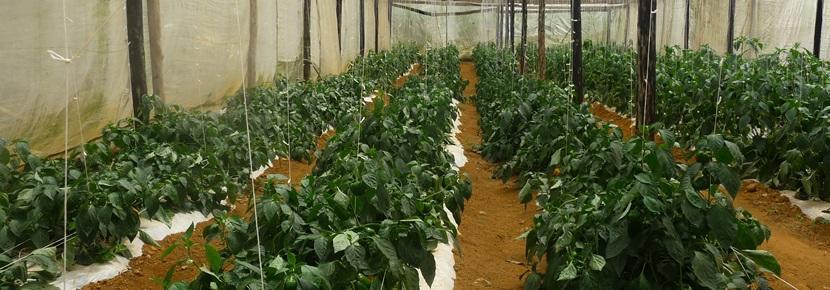 農業プロジェクトで地域農場をつくるプロジェクトアブロードボランティア