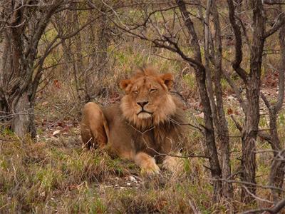 南アフリカ、環境保護プロジェクト、野生のライオン