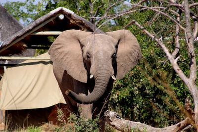 南アフリカ/ボツワナで環境保護の海外ボランティア キャンプを横切る野生のゾウ