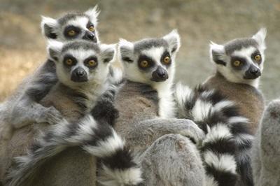 マダガスカルの熱帯雨林保護活動で見られるキツネザル