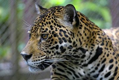 ペルー、アマゾン熱帯雨林、環境保護プロジェクトでプロジェクトアブロードボランティア観察するチーター