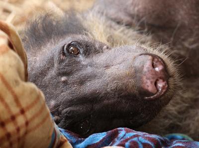 ペルーで環境保護ボランティア アニマルレスキューセンターで保護されたCholitaという種類のクマ