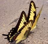 ペルー、環境保護プロジェクトで発見された蝶々のリスト