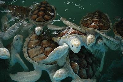 メキシコ、ウミガメ保護プロジェクト