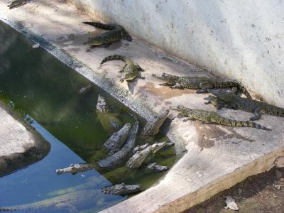 メキシコ、環境保護プロジェクト、ワニ