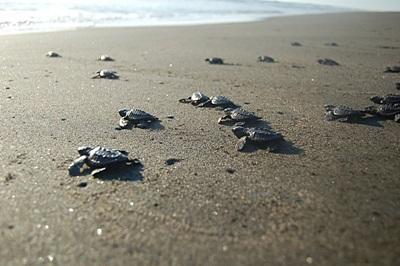 メキシコで環境保護の海外ボランティア 孵化したウミガメの赤ちゃんが無事海に返る様子