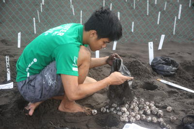 メキシコで環境保護の海外ボランティア 保護したウミガメの卵を安全に孵化場に移動する日本人ボランティア