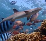 フィジー、サメ生態保護プロジェクト、調査中の発見