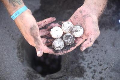 メキシコで環境保護の海外ボランティア 産卵されたウミガメの卵