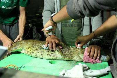 Volunteer the treating of the crocodile was injured in Peru