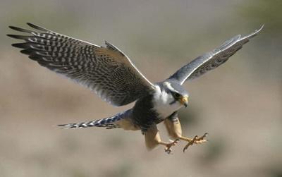 メキシコ鷹の保護プロジェクト の鷹が、元気になり空を飛んでいる場面