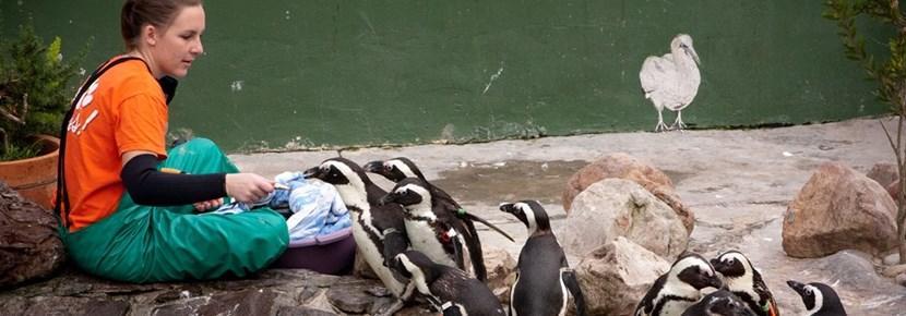 アニマルセンターでのペンギンの世話をするプロジェクトアブロードボランティア