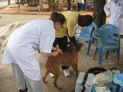 ガーナの地域各所で予防接種に貢献する獣医療インターンの様子